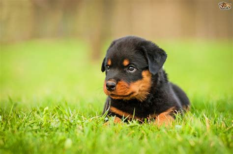 rottweilers as pets the pros and cons of keeping a rottweiler as a pet pets4homes