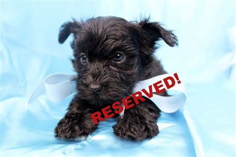 yorkie poo puppies nc yorkie poo puppies for sale in carolina yorkiepoo breeders nc happytail puppies