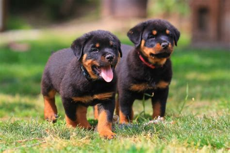 how to a rottweiler to be a guard guard for german rottweiler