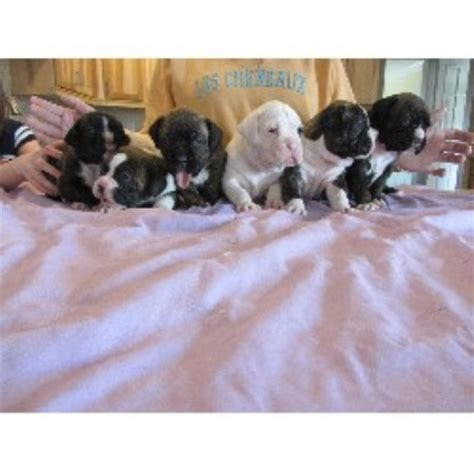 puppies for adoption in michigan boxer breeders in michigan freedoglistings