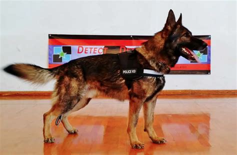 trained service dogs for sale officially certified k9 s for sale german shepherd service dogs for