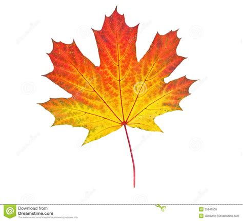 Yellow Autumn Leaf Stock Image Image Of Foliage November 35941509 Fall Leaves On White Background