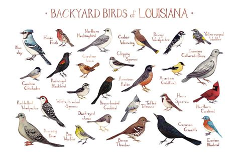 louisiana backyard birds field guide art print watercolor