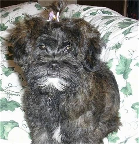 what does a shih poos tail look like shih poo dog breed information and pictures