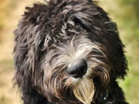 available sheepadoodle puppies available puppies