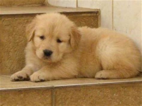 golden retriever venda goldem retriver r 1900 00 cinas cachorros animais de estima 231 227 o