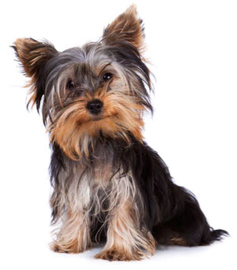 luxating patella in yorkies luxating patella in dogs doghealth