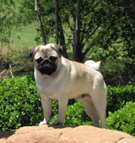 hill country pugs proud member of the pug club of america
