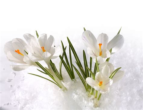 i fiori i fiori sfidano la neve gesal it
