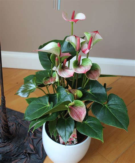 buy house plants  anthurium princess amalia elegance