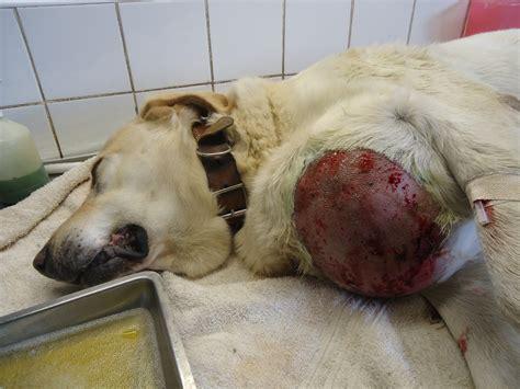 hemangiosarcoma in dogs canine hemangiosarcoma prednisone