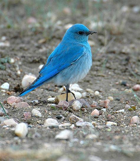 mountain bluebird photos 169 bill schmoker