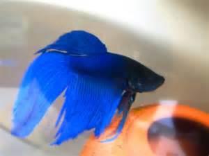 Betta Fish Colors   The Fish Doctor & Fish Breeder