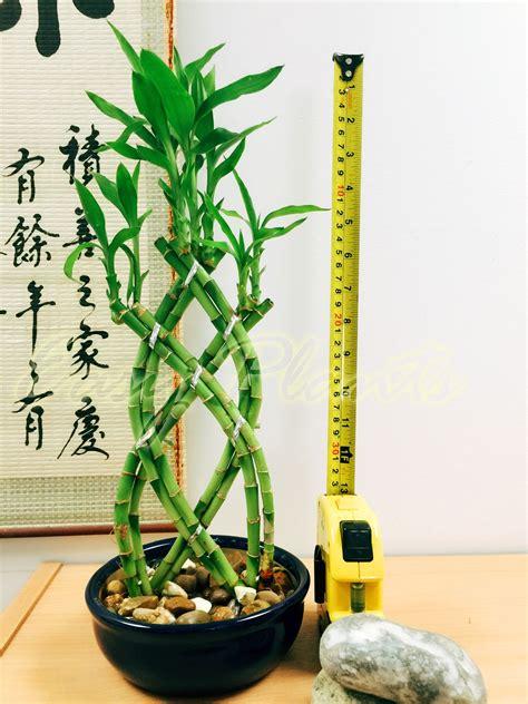vaso da bonsai 1 lucky bamboo multifunzione piante sempreverdi indoor