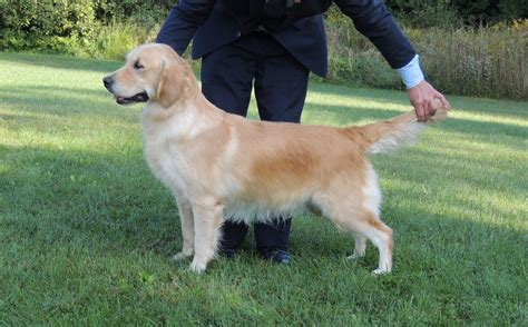 kyon golden retrievers goldnote s pepi and kyon kennels zeus goldnote golden retrievers