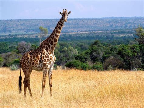 amazing african animals  tallest amazing giraffe