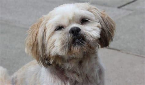 shih tzu rescue centre maisie 2 year shih tzu for adoption