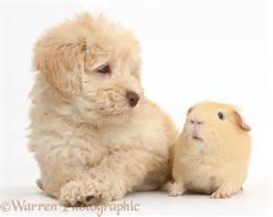 Other galleries cute guinea pigs funny cavy pictures guinea pig