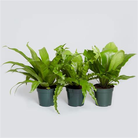 Detox Plants Safe For Cats by 11 Best Plants Non Toxic To Cats Dogs Images On