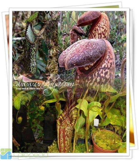tumbuhan dilindungi di indonesia ilmu pengetahuan carapedia