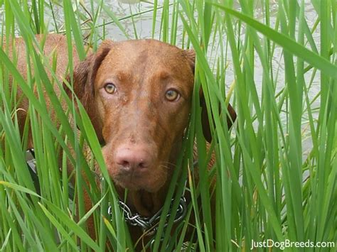 Vizsla Shedding by Home Breeds Vizsla Breeds Picture
