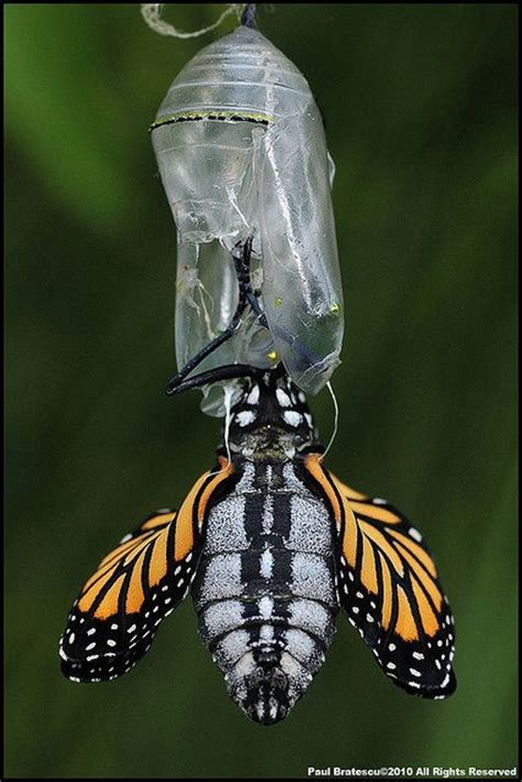 wings emerging from troubled times with new and deeper wisdom books 80 best shells images on butterfly chrysalis