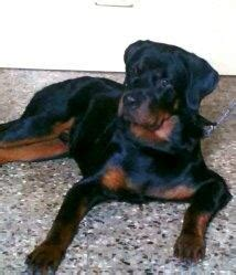 difference between doberman and rottweiler puppies how i differentiate between doberman and rottweiler breed quora