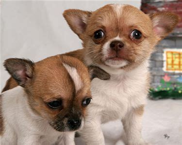 chihuahua puppies for adoption affectionate chihuahua puppies for free adoption pets for sale in the uk