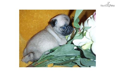 pugs for sale in iowa pug puppy for sale near des moines iowa a63dbb9b d981