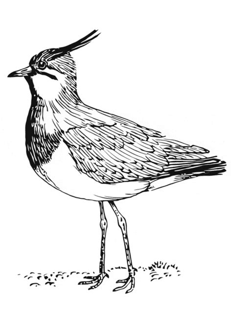 Lapwing Coloring Page Animals Town Animals Color Sheet