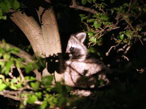 best night hunting light choosing the best coon hunting lights advanced hunter
