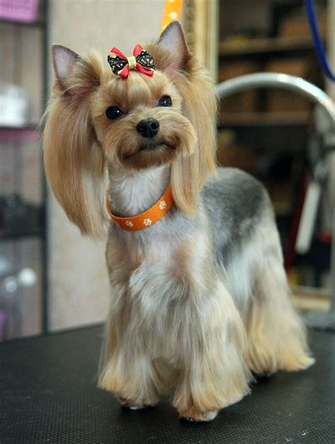do yorkies hair or fur 17 best ideas about terrier haircut on terriers