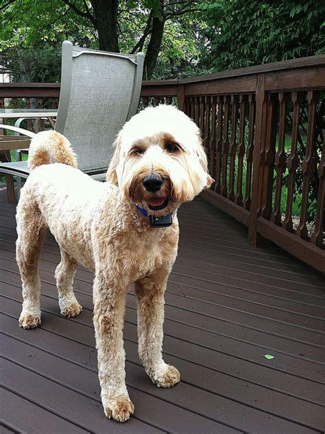 labradoodle grooming cuts picture like my summer haircut labradoodle love pinterest