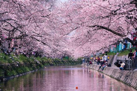 wallpaper alam hq i captured sakura bloom in japan bored panda