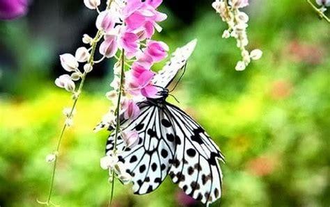 Wdd Tunik Kupu Kupu Putih kupu kupu putih gambarbagus