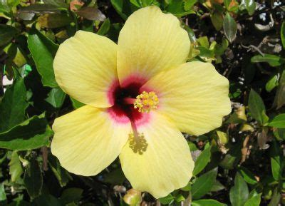 how much light does a lemon tree need 17 best ideas about hibiscus plant on pinterest hibiscus