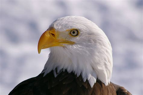 American Eagle Bald Eagle Hd Wallpapers American Eagle Hd Pictures Hd