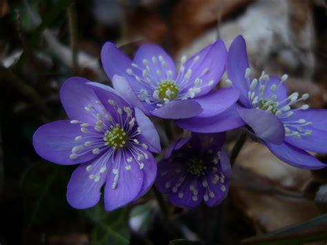 fiori traditional gc6yy54 i fiori verbano anemone hepatica traditional