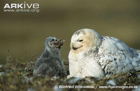 Jump Owl White image gallery lemmings prey