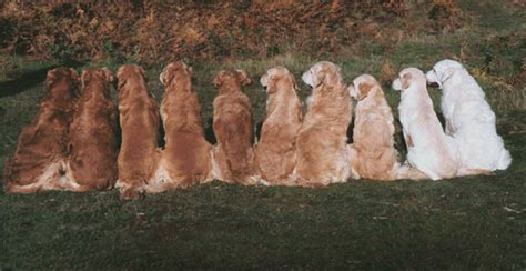 catcombe golden retrievers willowbrook goldens breeders of european creme white golden retrievers