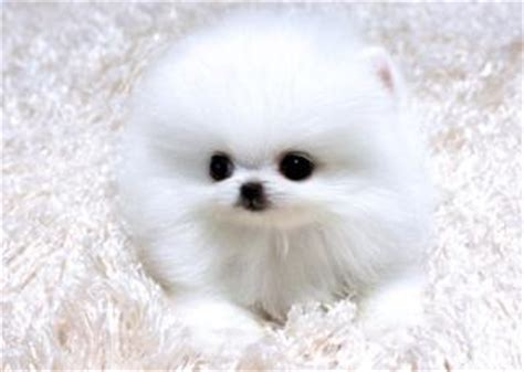 pomeranian puppy philippines tiny teacup pomeranian puppies for adoption offering for sale philippines