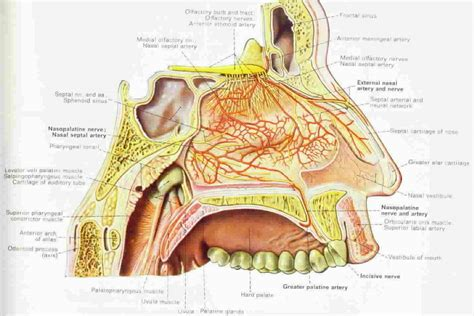 sinus diagram human anatomy nose diagram coordstudenti