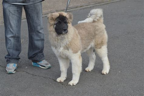 akita inu puppies for sale japanese akita inu puppies for sale breeds picture