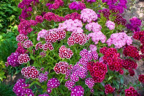fiori per aiuola fiori viola da aiuola idee per interni e mobili