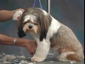 how to groom a shih tzu at home 25 unique search ideas on search by