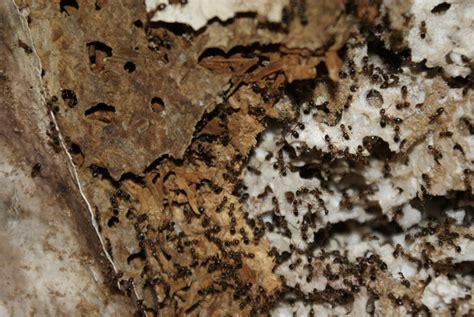 Ameisenplage Im Garten Bek Mpfen 2797 by Ameisen Im Haus Ameisen Im Haus Bek Mpfen Haushalt Putzen