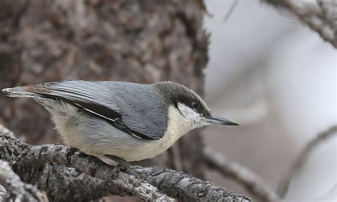 pygmy nuthatch song call voice sound