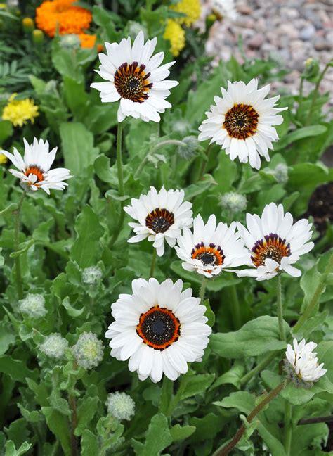 Benih Bibit Seed Grosir Ecer Tanaman Hias Bunga Orange Prince jual benih seed grosir ecer tanaman hias bunga venidium zulu prince amefurashi
