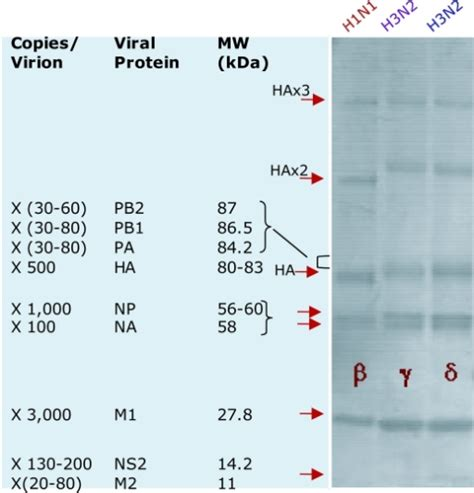 Viral Divorce Letter Sds Page Gel Separations Of Influenza Proteins Showing Open I