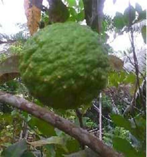 khasiat  manfaat jeruk purut khasiat daun alami